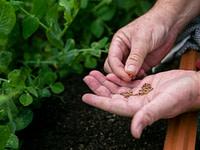 Profesionālās dārzeņu sēklas