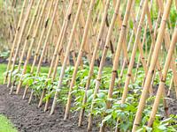 Bambusa mietiņi